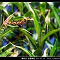 蜻蛉目-彩裳蜻蜓_01.jpg