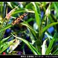 蜻蛉目-彩裳蜻蜓_02.jpg