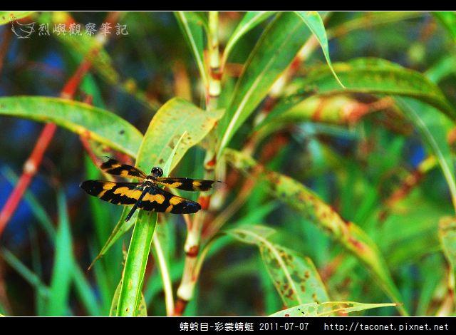 蜻蛉目-彩裳蜻蜓_04.jpg