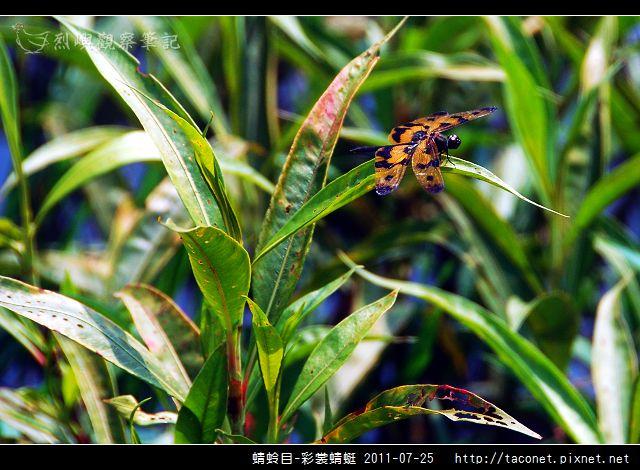 蜻蛉目-彩裳蜻蜓_03.jpg