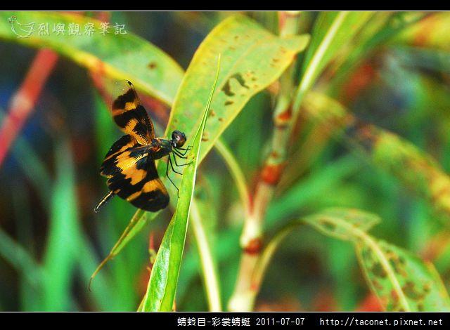 蜻蛉目-彩裳蜻蜓_05.jpg