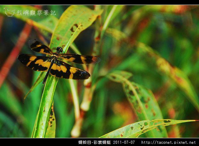 蜻蛉目-彩裳蜻蜓_07.jpg
