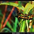 蜻蛉目-彩裳蜻蜓_06.jpg