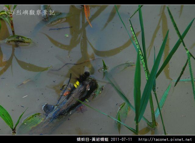 蜻蛉目-黃紉蜻蜓_02.jpg