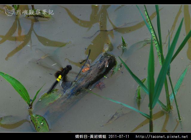 蜻蛉目-黃紉蜻蜓_03.jpg
