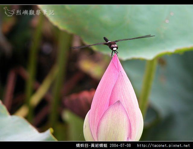 蜻蛉目-黃紉蜻蜓_04.jpg
