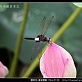 蜻蛉目-黃紉蜻蜓_05.jpg
