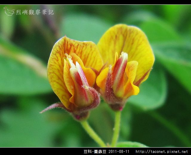豆科-蔓蟲豆_11.jpg