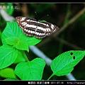 鱗翅目-琉球三線蝶_01.jpg