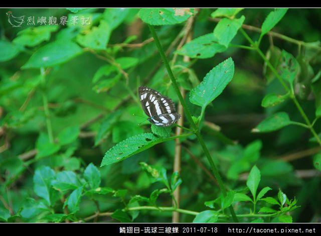 鱗翅目-琉球三線蝶_03.jpg