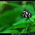 鱗翅目-琉球三線蝶_04.jpg