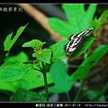 鱗翅目-琉球三線蝶_06.jpg