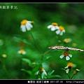 鱗翅目-琉球三線蝶_08.jpg