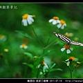 鱗翅目-琉球三線蝶_09.jpg