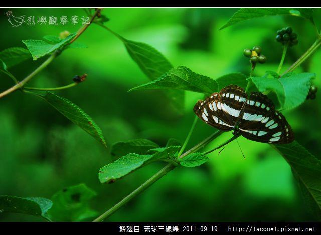鱗翅目-琉球三線蝶_11.jpg
