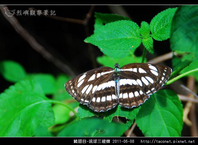 鱗翅目-琉球三線蝶_12.jpg