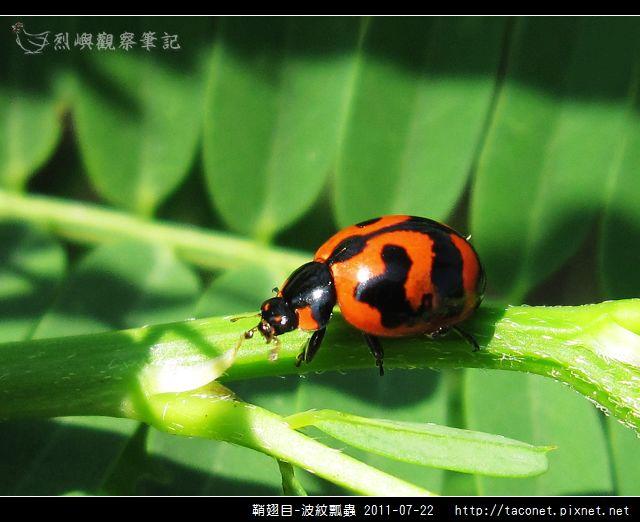 鞘翅目-波紋瓢蟲_02.jpg