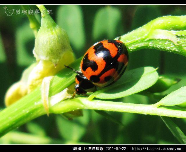 鞘翅目-波紋瓢蟲_01.jpg