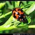 鞘翅目-波紋瓢蟲_03.jpg