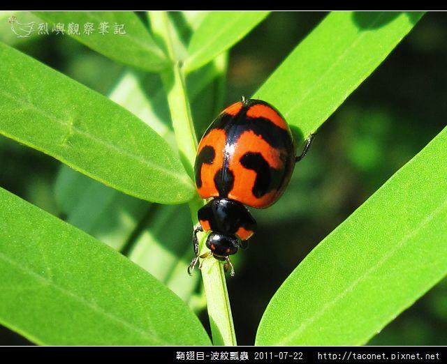鞘翅目-波紋瓢蟲_04.jpg