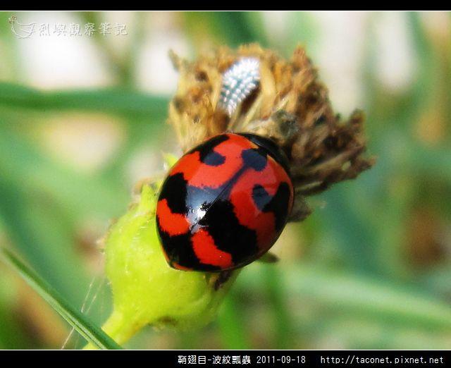 鞘翅目-波紋瓢蟲_05.jpg