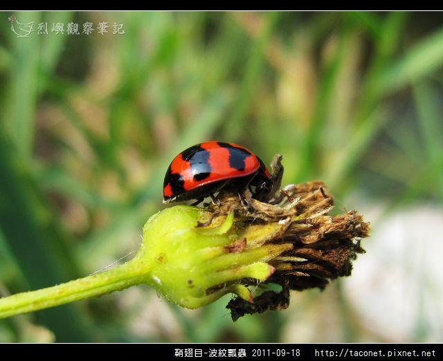 鞘翅目-波紋瓢蟲_06.jpg
