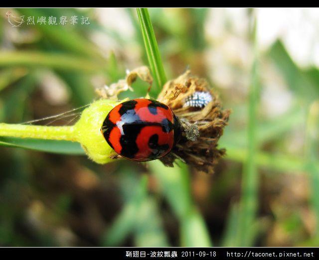 鞘翅目-波紋瓢蟲_07.jpg