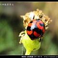 鞘翅目-波紋瓢蟲_09.jpg
