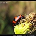 鞘翅目-波紋瓢蟲_08.jpg
