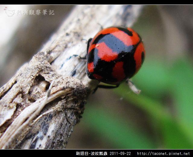 鞘翅目-波紋瓢蟲_10.jpg