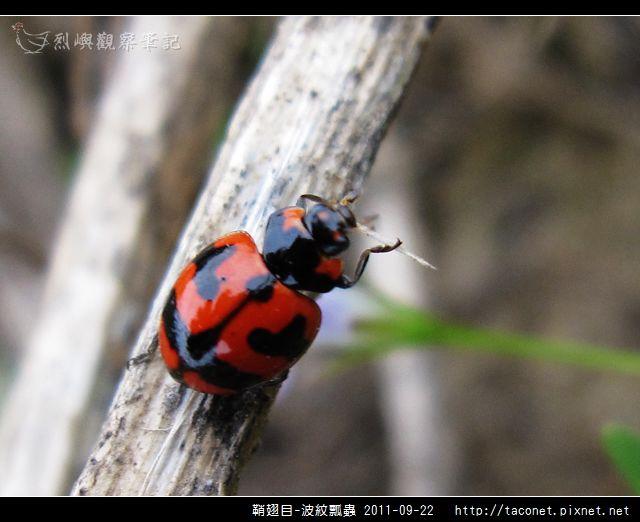鞘翅目-波紋瓢蟲_11.jpg