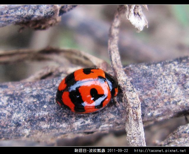 鞘翅目-波紋瓢蟲_12.jpg