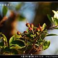 大風子科-魯花樹-05.jpg
