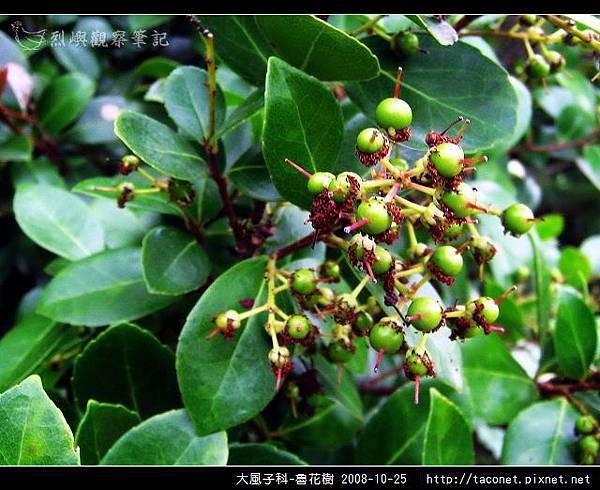 大風子科-魯花樹-09.jpg