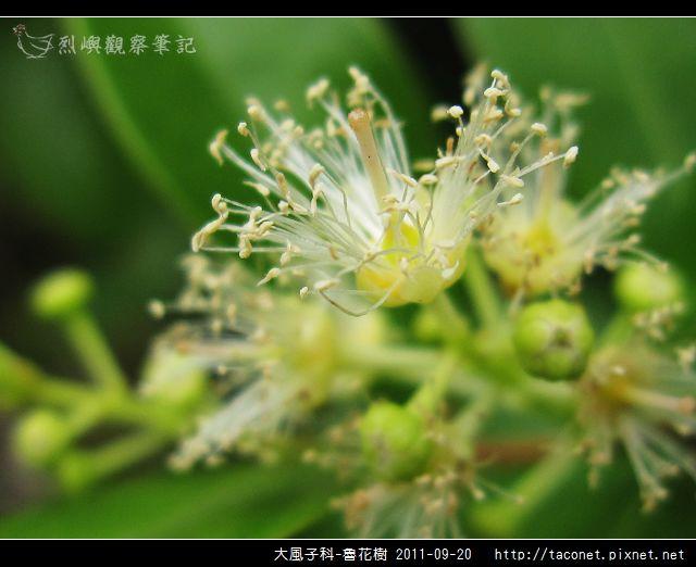 大風子科-魯花樹-12.jpg