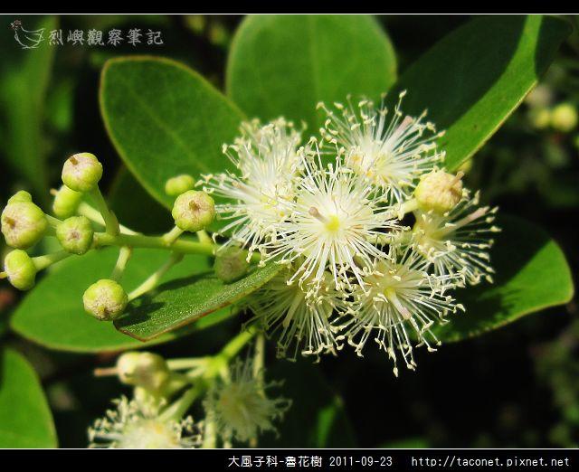 大風子科-魯花樹-13.jpg