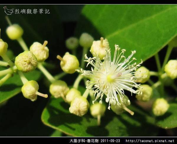 大風子科-魯花樹-14.jpg