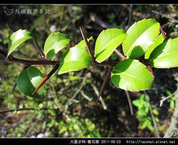大風子科-魯花樹-16.jpg