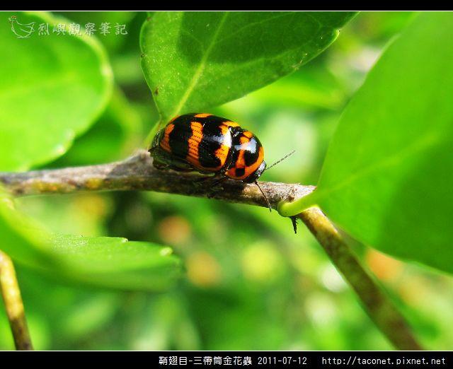 鞘翅目-三帶筒金花蟲_01.jpg