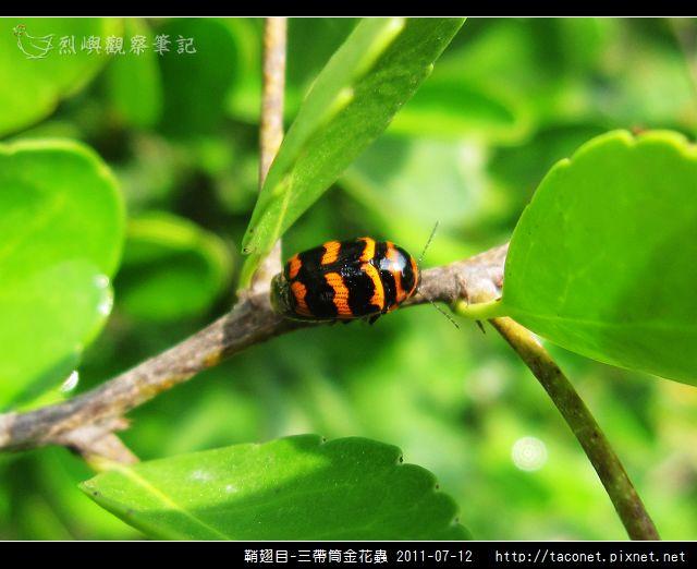 鞘翅目-三帶筒金花蟲_02.jpg