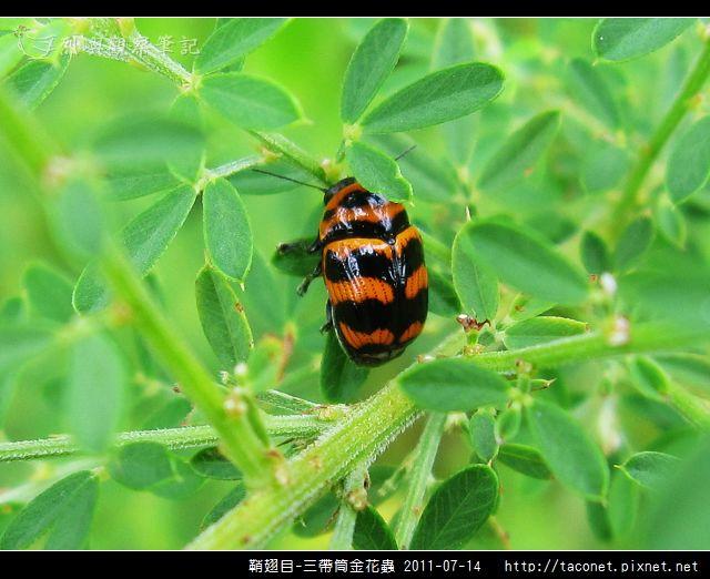 鞘翅目-三帶筒金花蟲_03.jpg