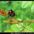 鞘翅目-三帶筒金花蟲_04.jpg