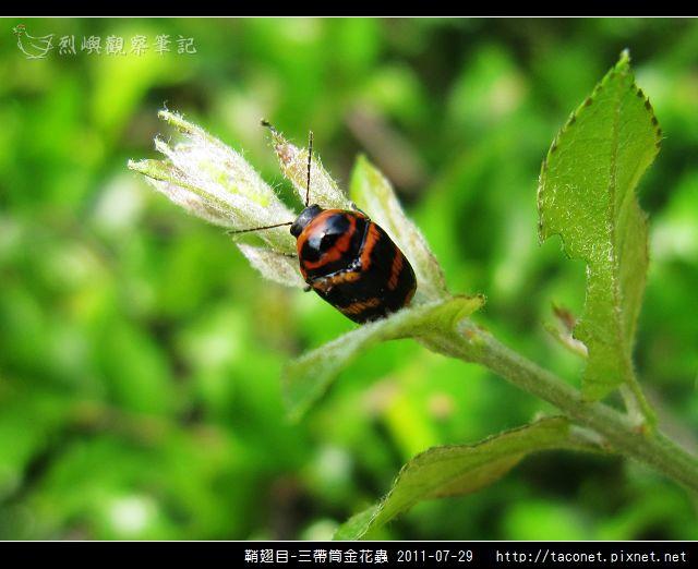 鞘翅目-三帶筒金花蟲_06.jpg