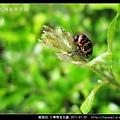 鞘翅目-三帶筒金花蟲_05.jpg