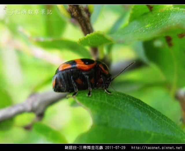 鞘翅目-三帶筒金花蟲_07.jpg