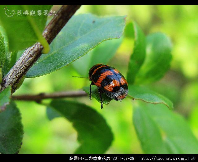 鞘翅目-三帶筒金花蟲_08.jpg
