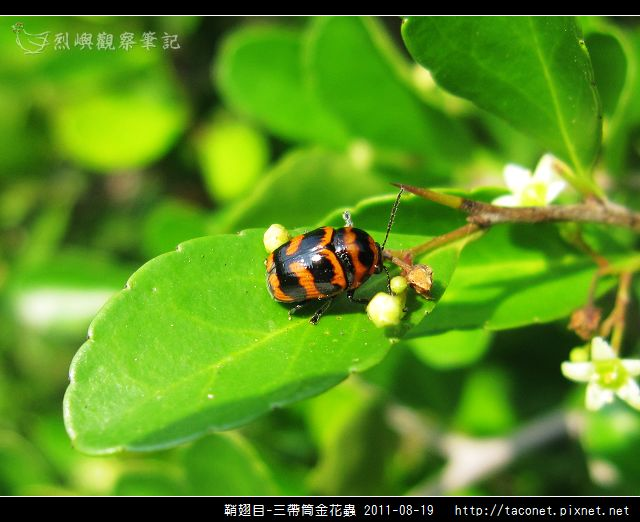 鞘翅目-三帶筒金花蟲_09.jpg