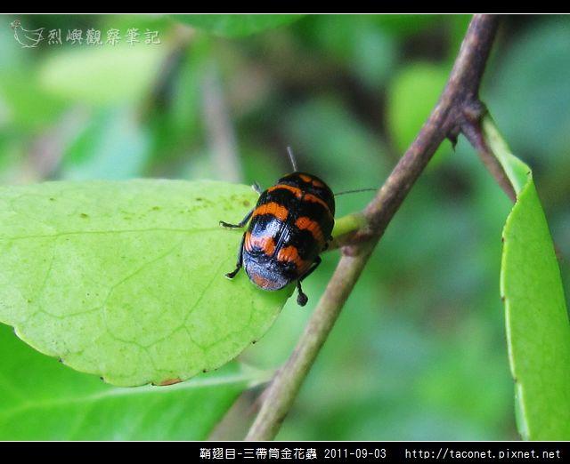 鞘翅目-三帶筒金花蟲_10.jpg