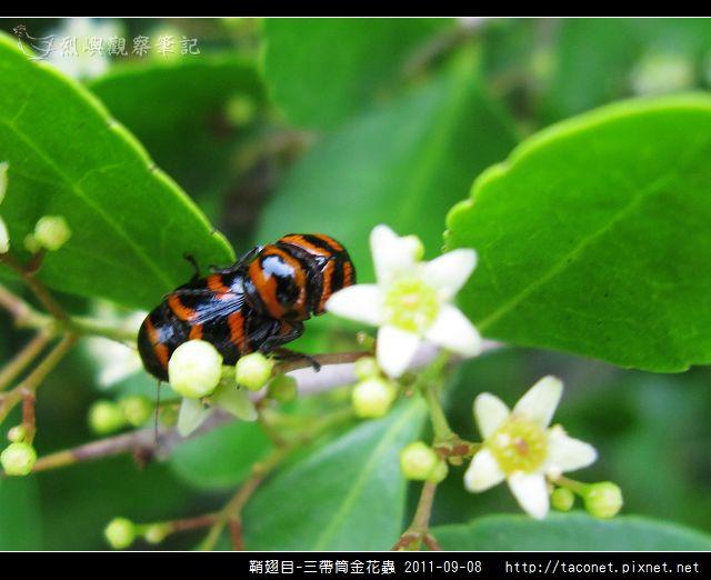 鞘翅目-三帶筒金花蟲_11.jpg