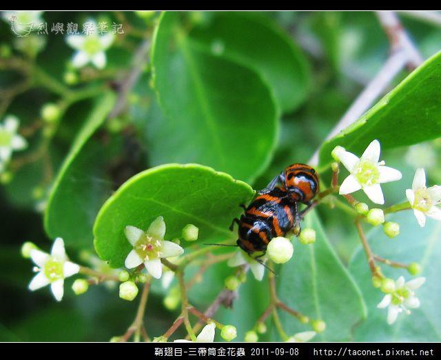 鞘翅目-三帶筒金花蟲_12.jpg